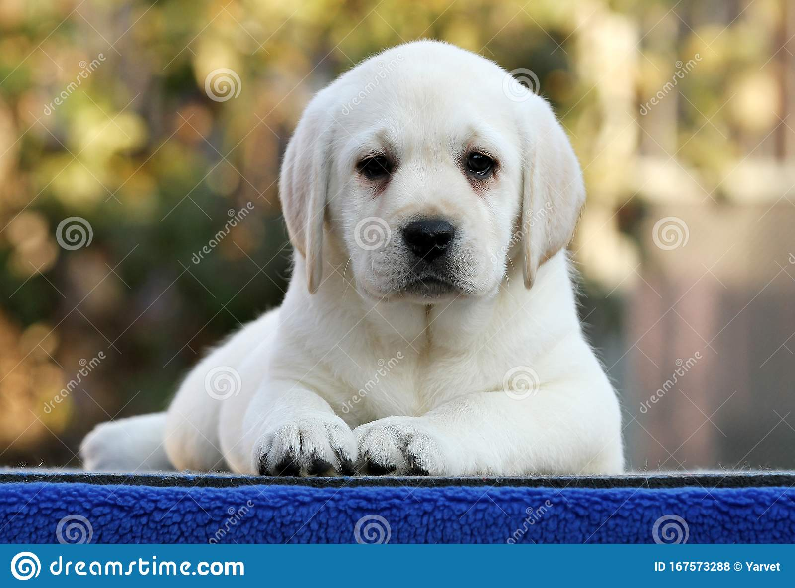 The Nice Labrador Puppy On A Blue Background Stock Photo Image Of Puppy Pale 167573288
