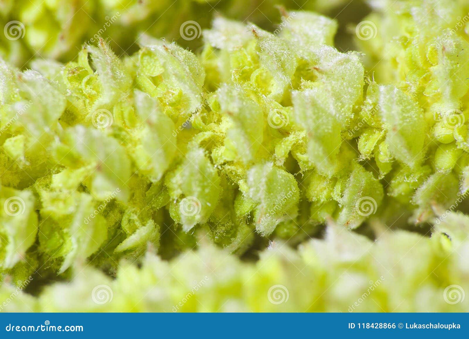 Nice light green spring catkin, macro photo