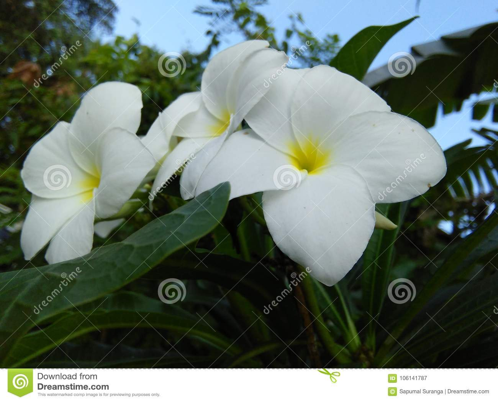 Feautiful White Color Flower Of Sri Lanka Stock Image Image Of