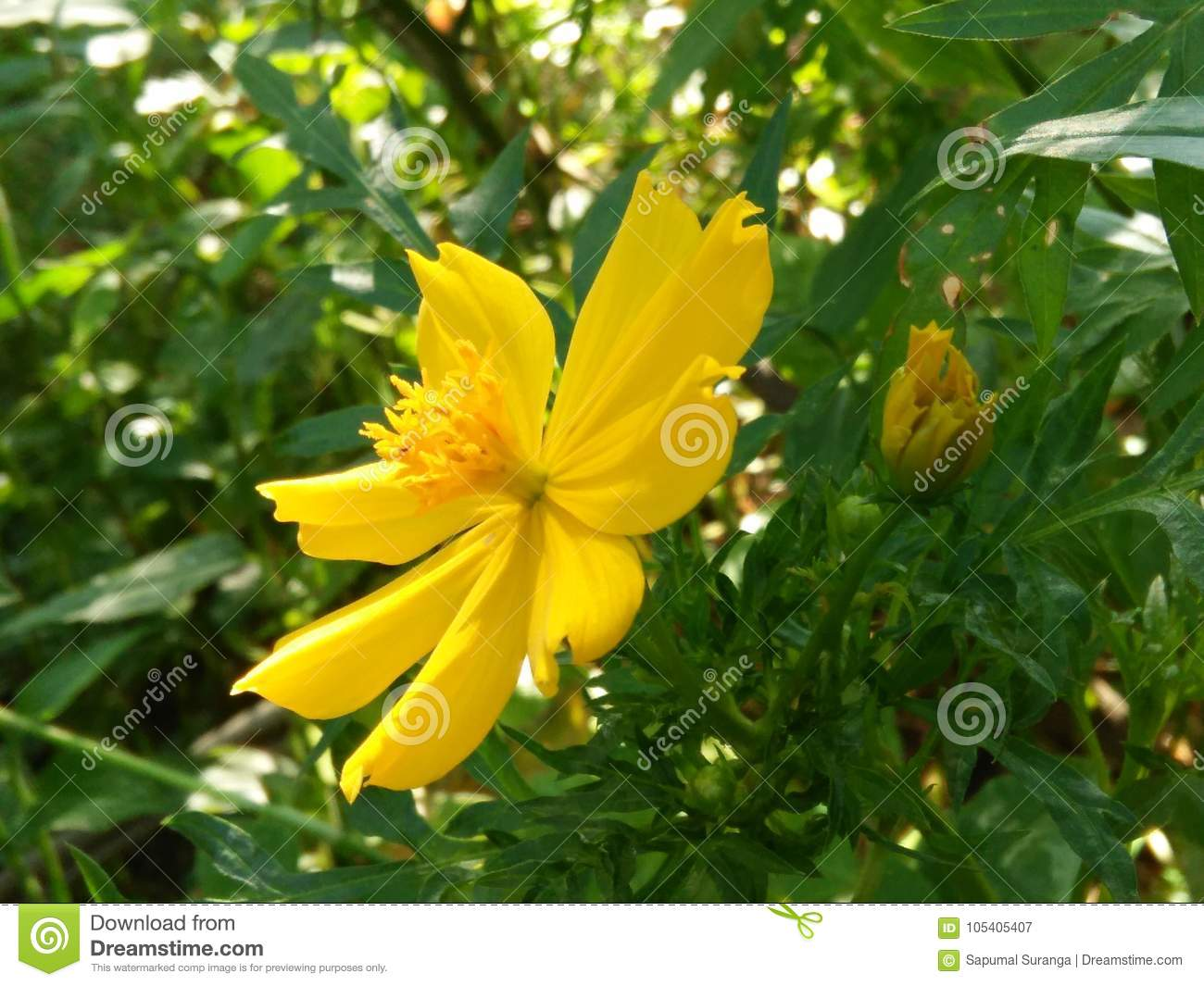 Beautiful Yellow Color Flower Of Sri Lanka Stock Image Image Of