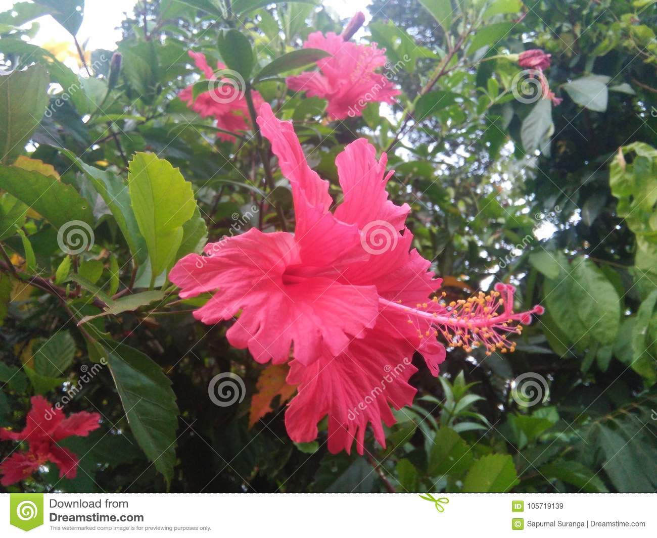 Beautiful flower of sri lanka photos stock image image of natural royalty free stock photo izmirmasajfo