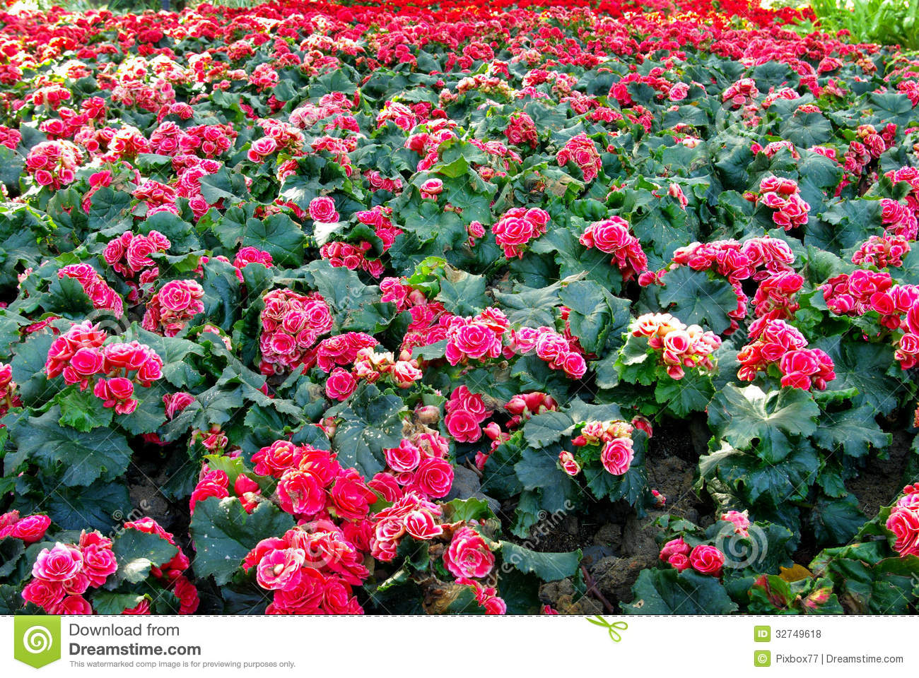 Nice Pink Flower In Garden Stock Photo. Image Of