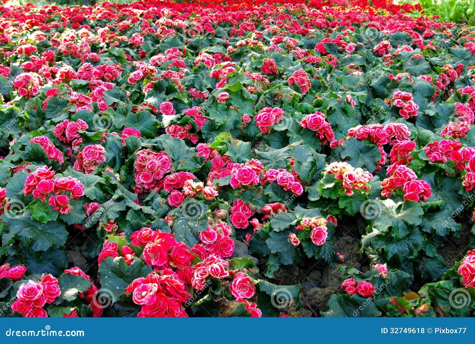 Nice Pink Flower In Garden Royalty Free Stock Photos