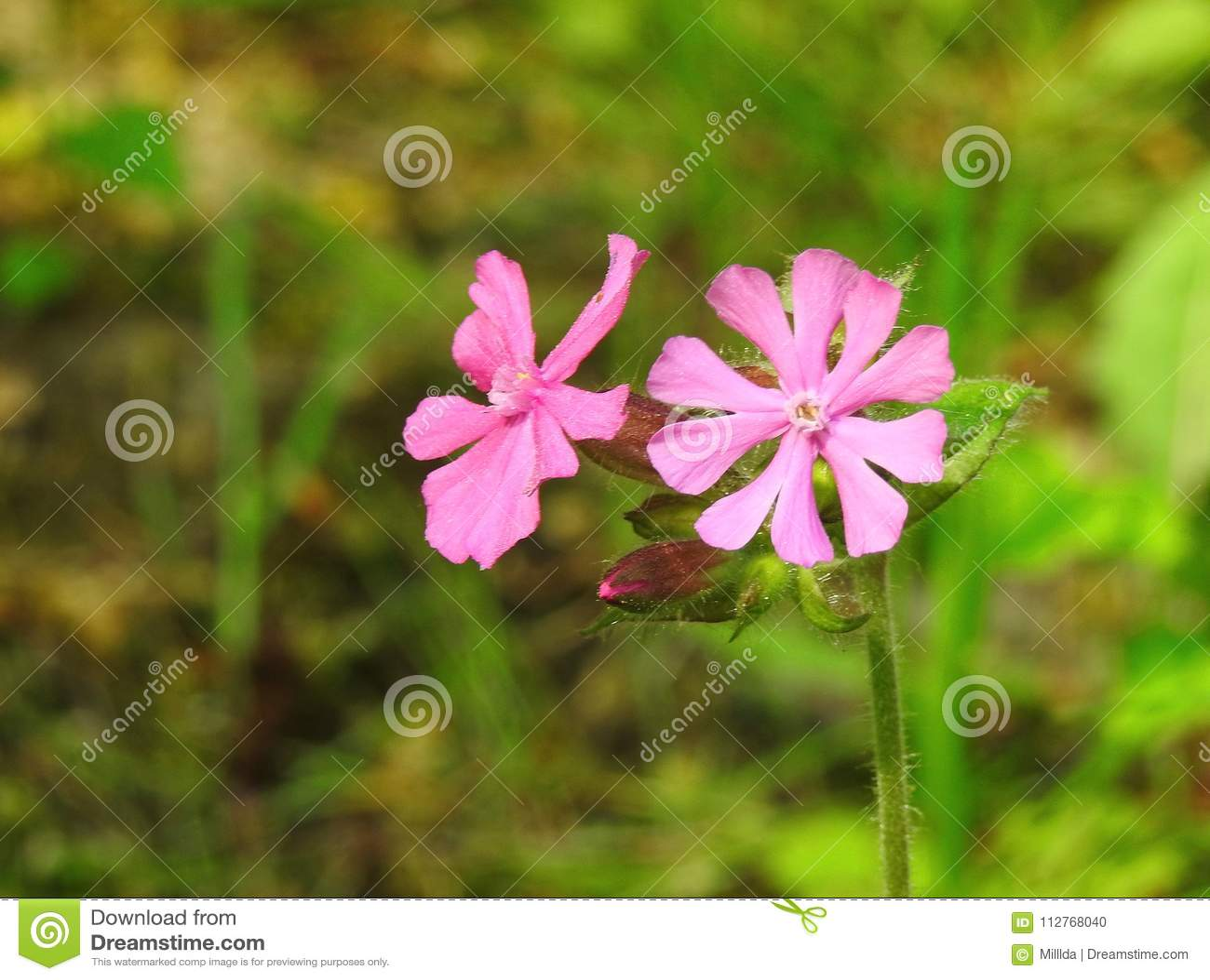 Beautiful pink flowers in garden lithuania stock photo image of download beautiful pink flowers in garden lithuania stock photo image of pink flower mightylinksfo