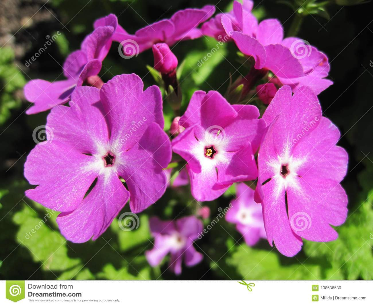 Beautiful Pink Flowers In Garden Lithuania Stock Photo Image Of