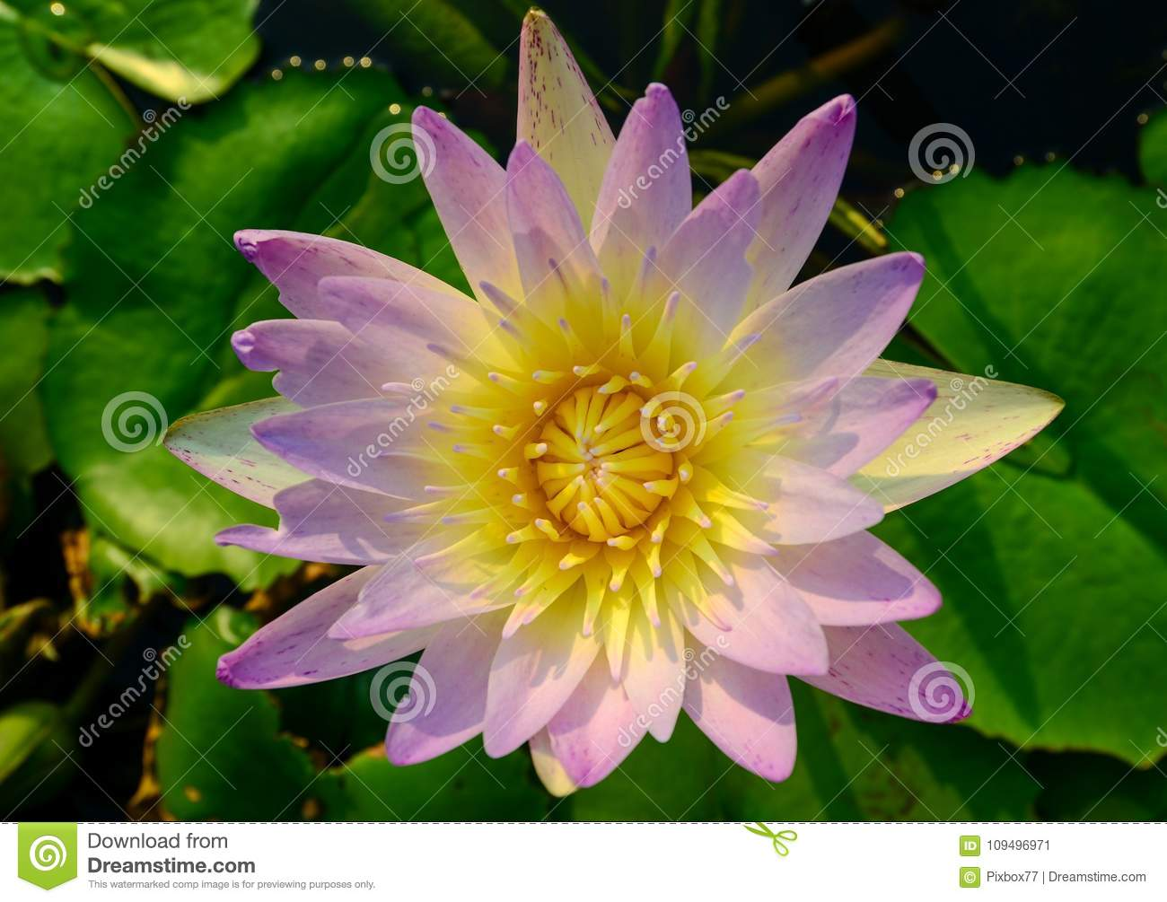Nice Pink And Yellow Lotus Flower Top View Stock Image Image Of