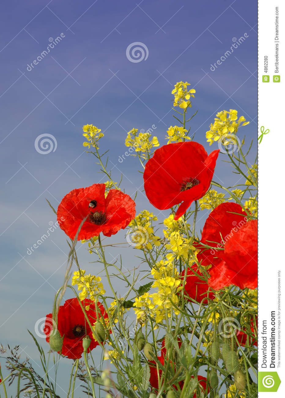 Nice red Poppies