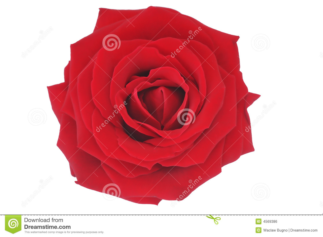 Nice Red Rose Illustration Over White Royalty Free Stock