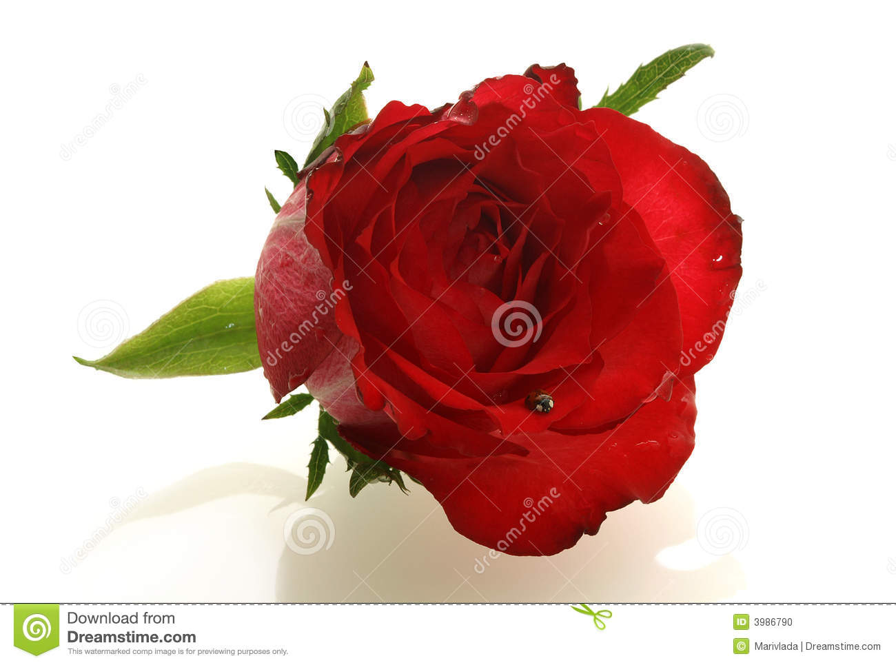 Nice Red Rose With A Small Ladybird Stock Photo