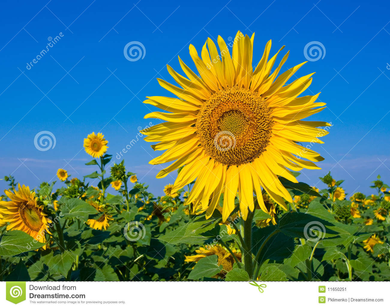 Nice Sunflower Stock Image