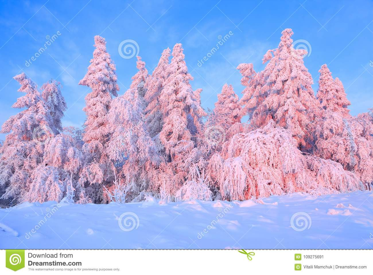 Nice twisted trees covered with thick snow layer enlighten rose colored sunset in beautiful winter day.