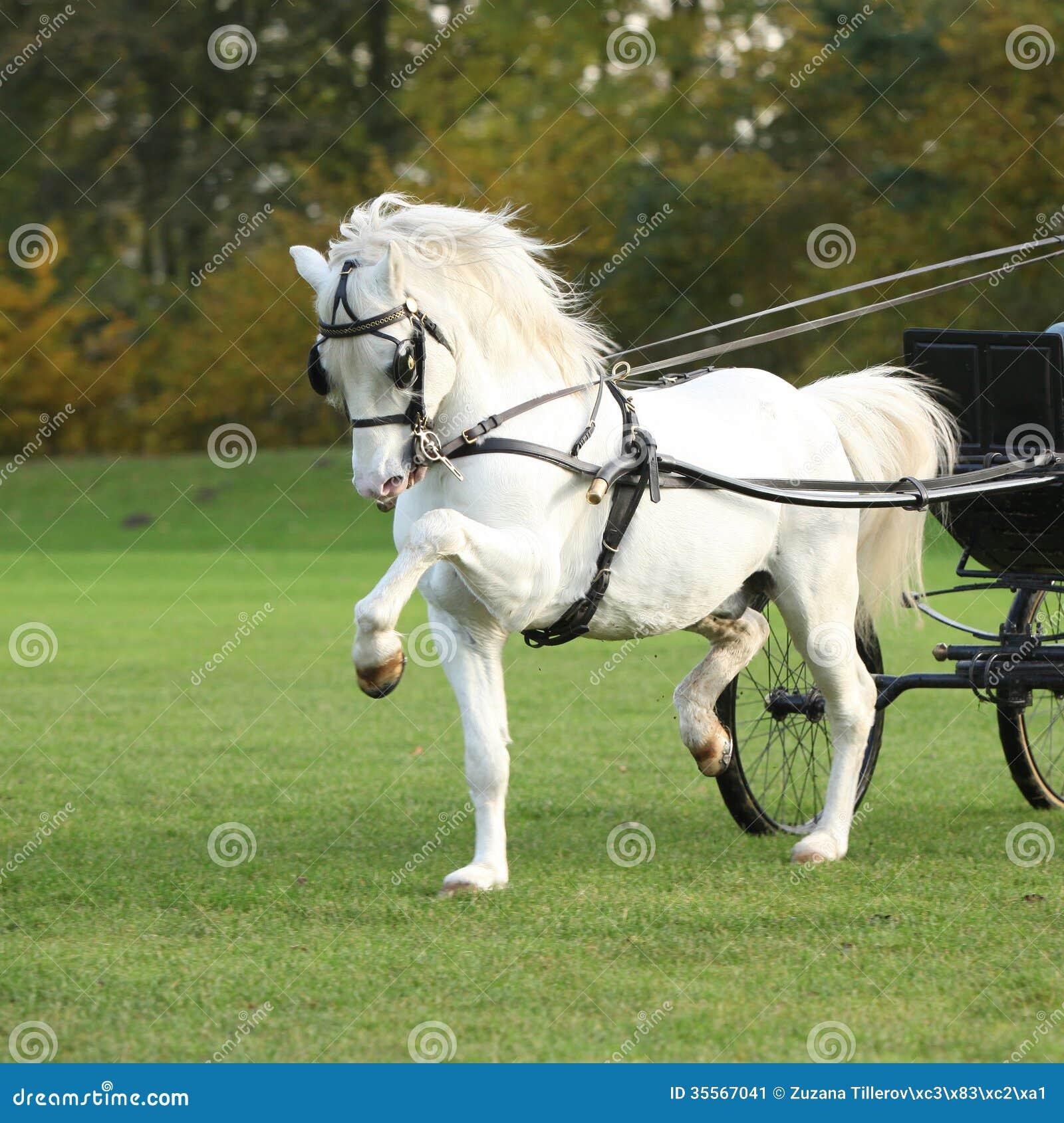 nice welsh mountain pony stallion running stock image. Black Bedroom Furniture Sets. Home Design Ideas