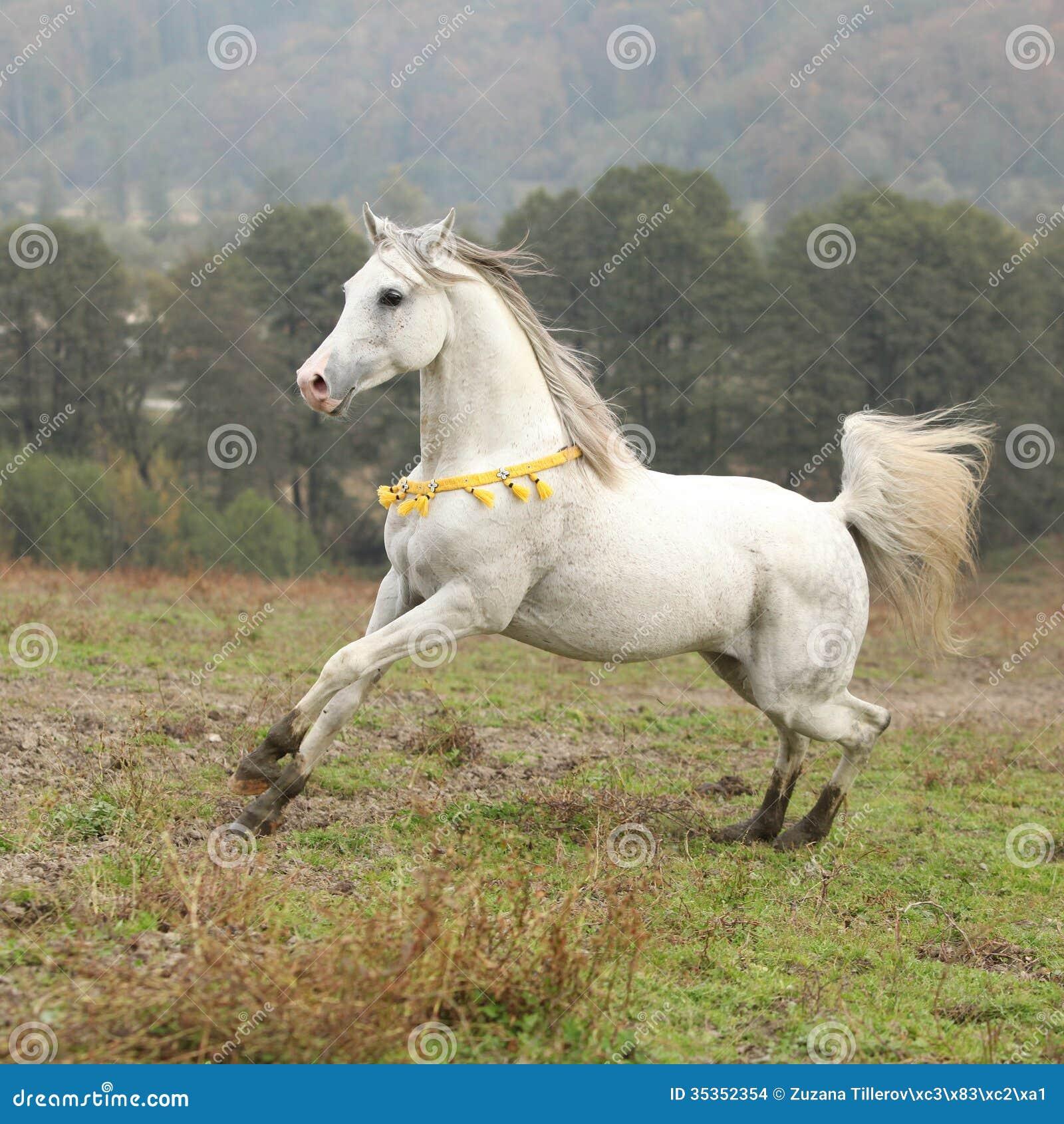 Nice White Arabian Stallion With Flying Mane Stock Photo Image Of Horse Mammal 35352354
