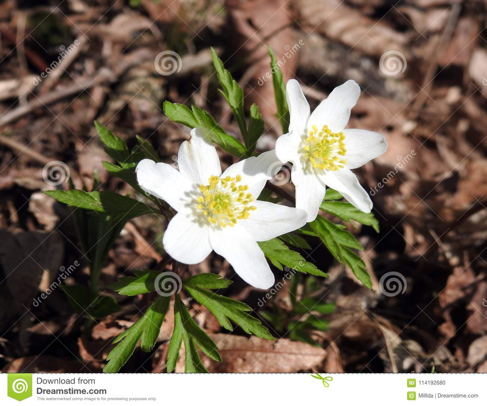 Beautiful white flower lithuania stock photo image of yellow download beautiful white flower lithuania stock photo image of yellow saffron 114192680 izmirmasajfo
