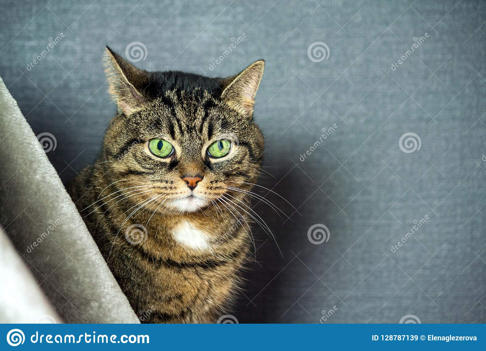 Nicht reinrassige gestreifte Katze, fette Backen, Nahaufnahmeporträt, sitzt hinter einem grauen Schleier