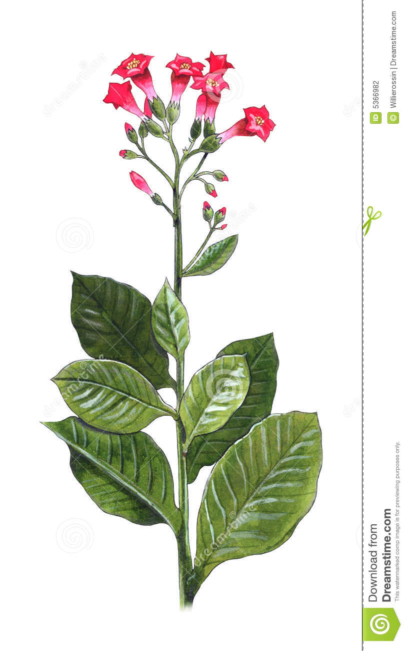 Hand-made illustration of a tobacco plant - Nicotiana Tabacum.