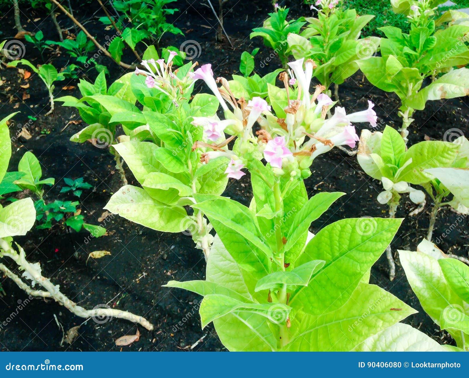 Nicotiana tabacum L  stock photo  Image of farmer