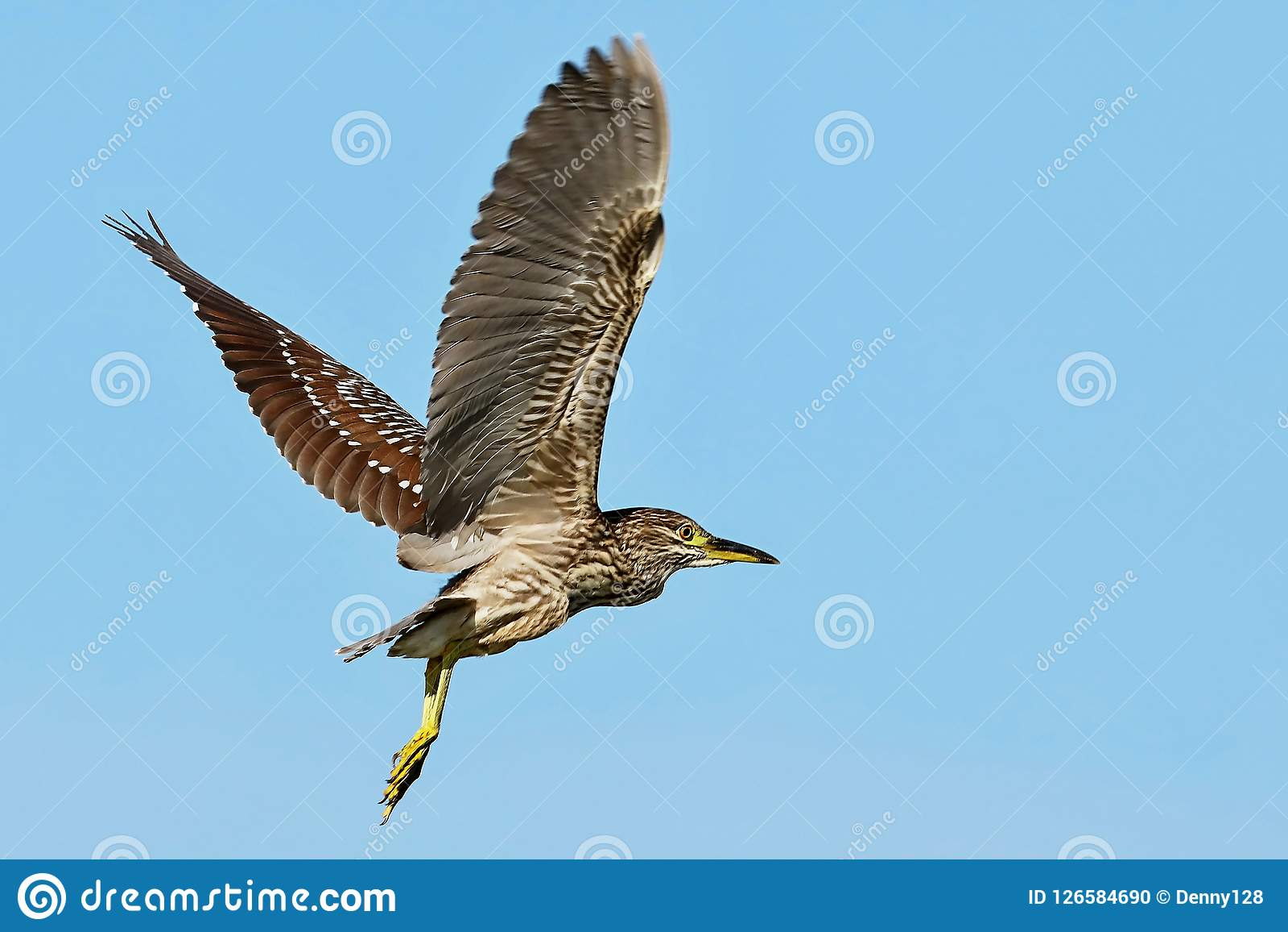 Nicticora Nero-incoronata giovani in volo