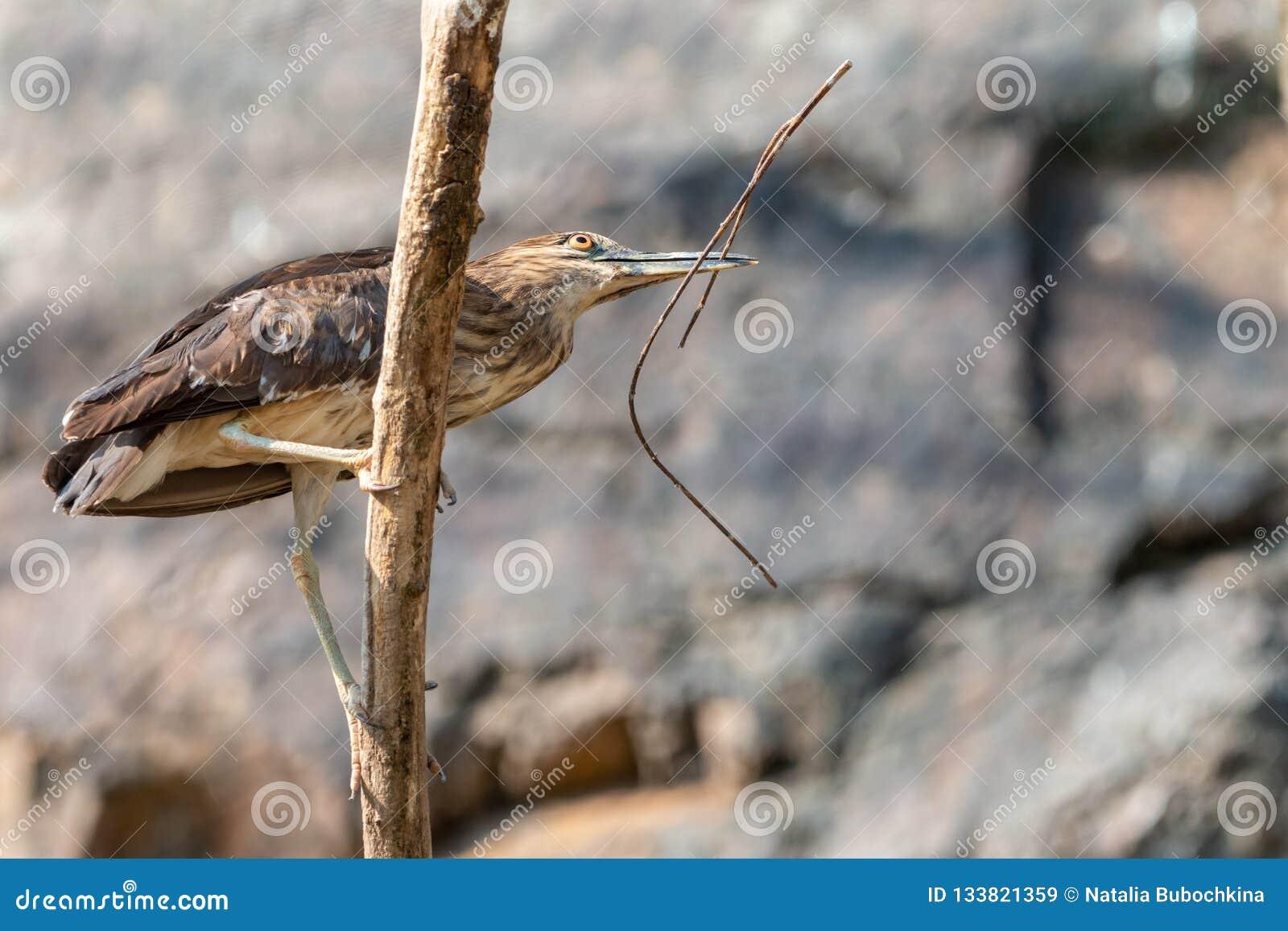 Nicticora nero-incoronata giovanile con il ramoscello in un becco