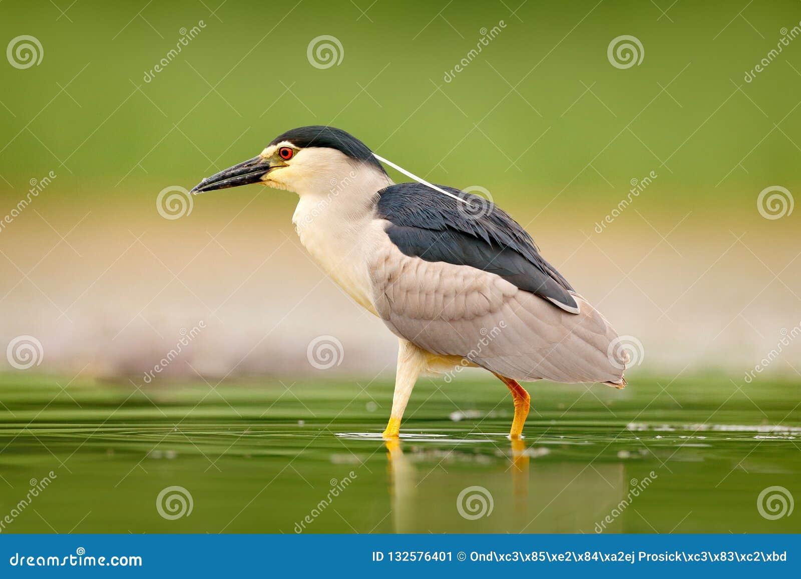 Nicticora, nycticorax nycticorax, uccello acquatico grigio che si siede nell acqua, Ungheria Scena della fauna selvatica dalla na