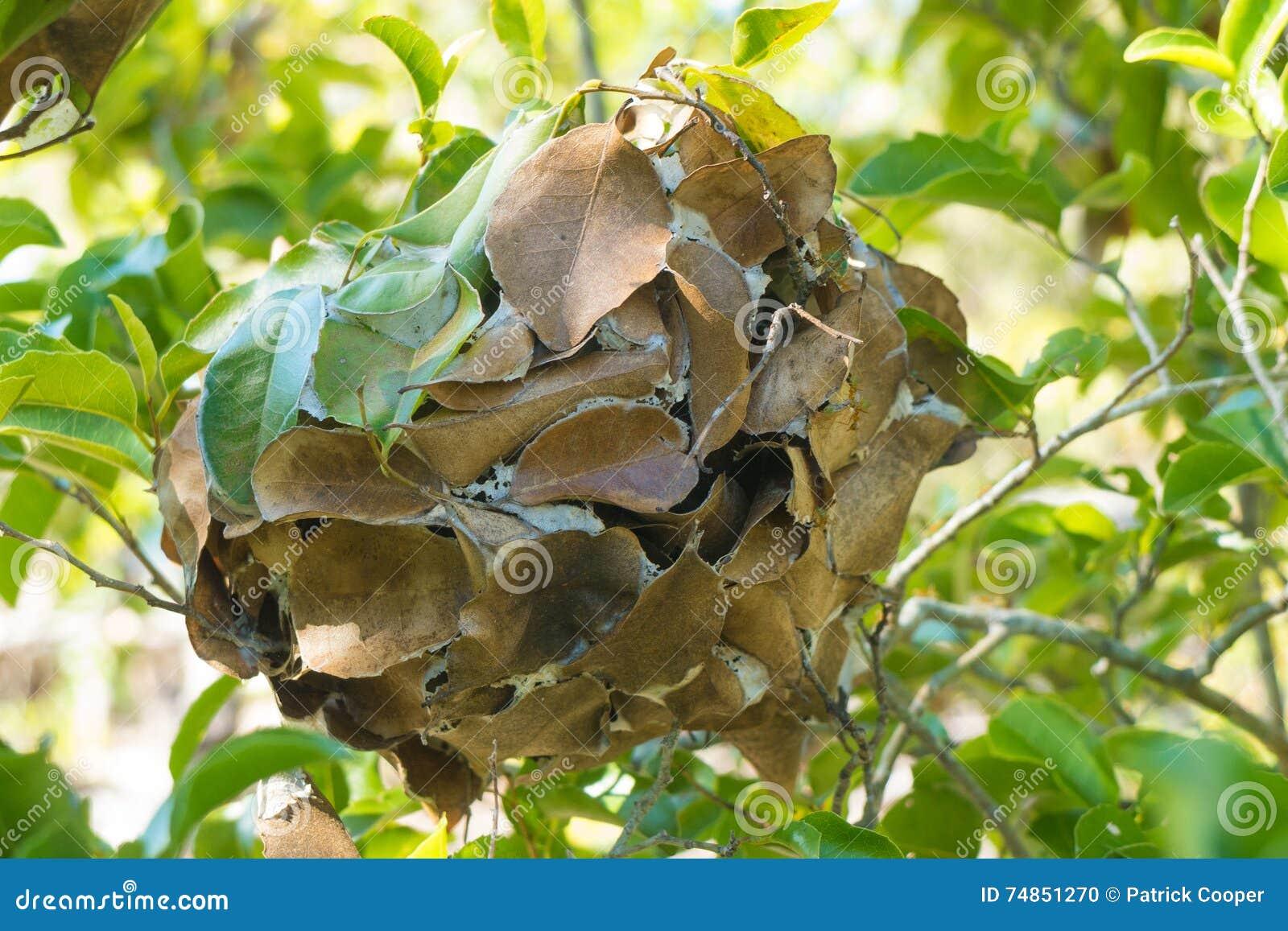 nid de feuille construit par des fourmis de tisserand photo stock image 74851270. Black Bedroom Furniture Sets. Home Design Ideas