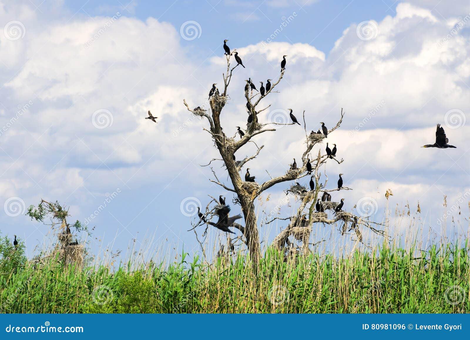 Nidi di Cormorant in alberi nel delta di Danubio