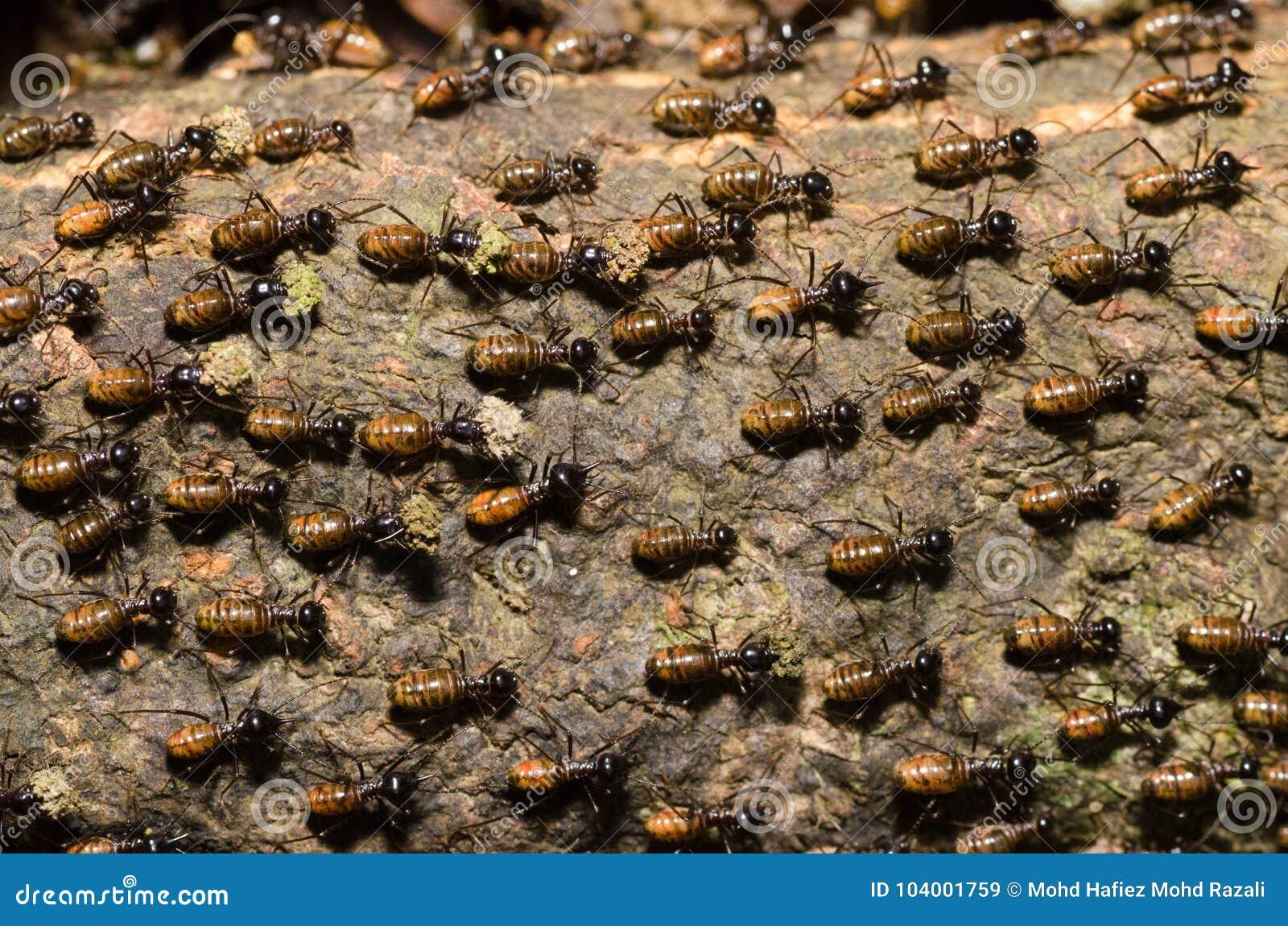 Nidiata della termite del lavoratore sulla corteccia di albero