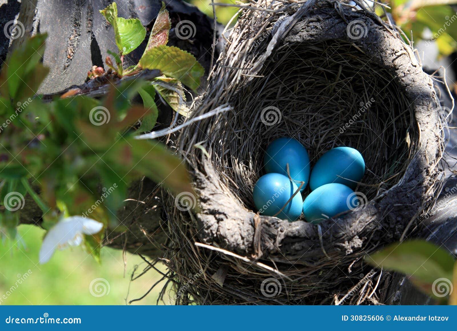 Nido dell uccello di Robin sopra l orientamento di orizzontale del ciliegio