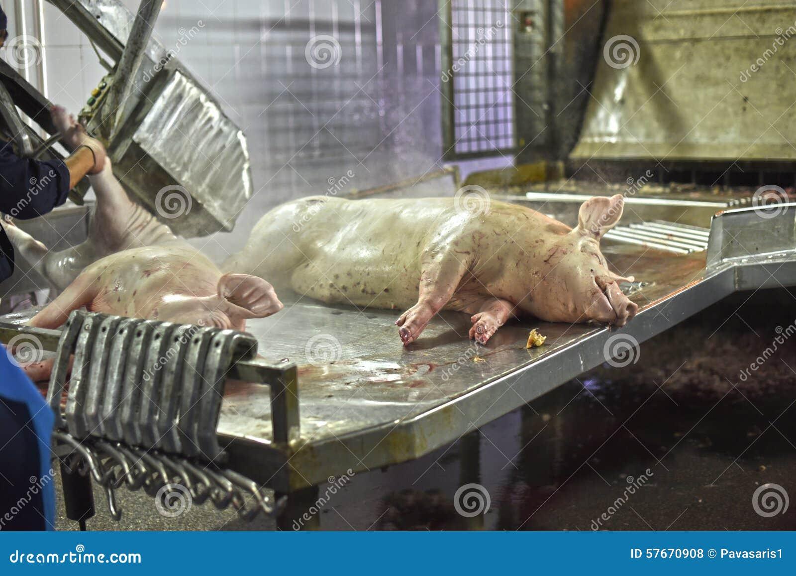 Nieżywi świniowaci ścierwa