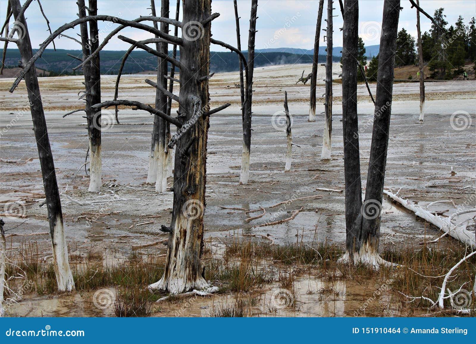Nieżywi drzewa wykładają boardwalk przy fontanny farby garnkami wlec w Yellowstone parku