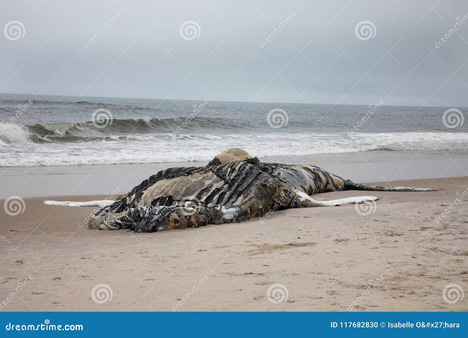 Nieżywy Żeński Humpback wieloryb wliczając ogonu i Dorsalni żebra na Pożarniczej wyspie, Long Island, plaża, z piaskiem w przedpo