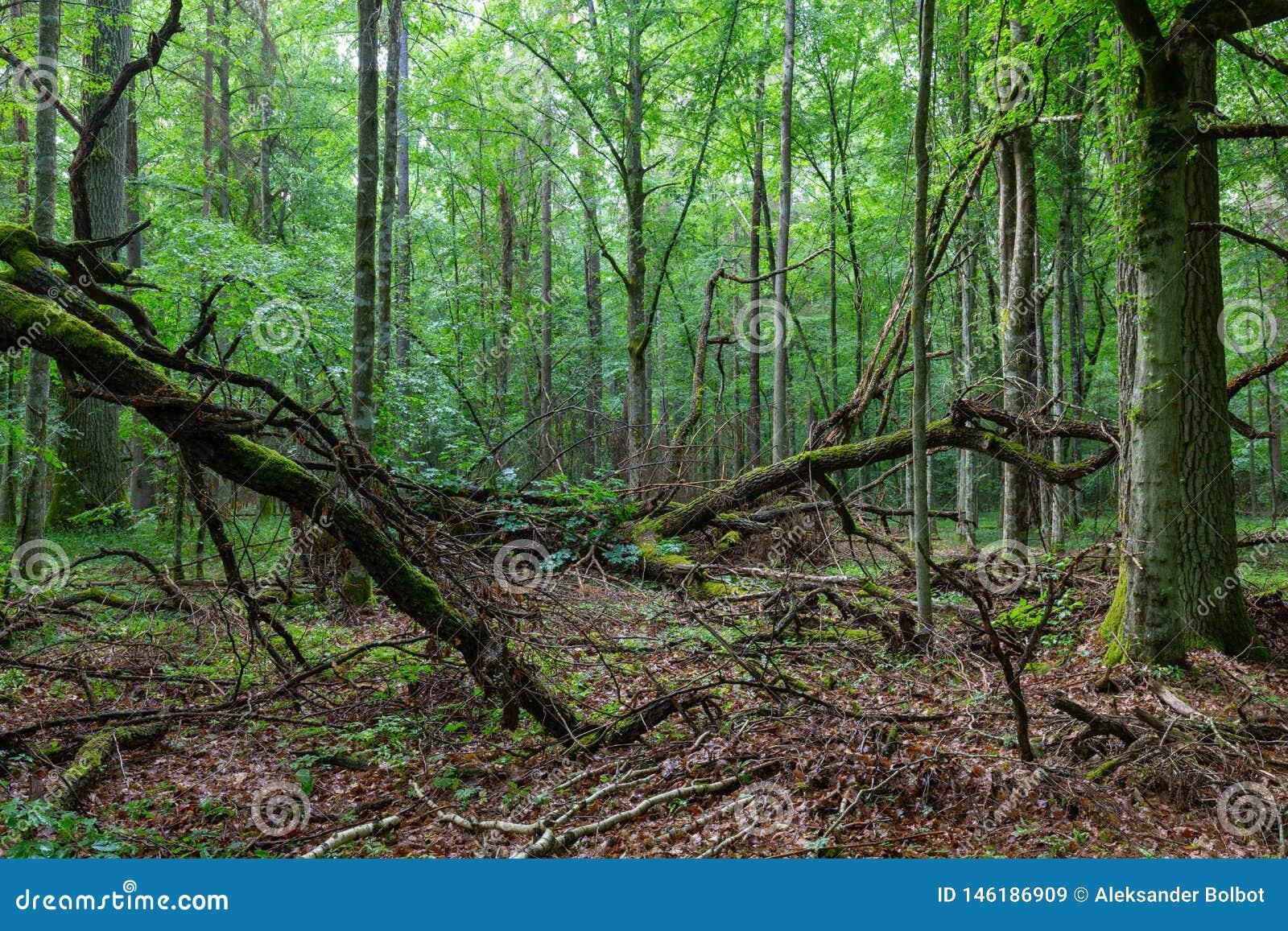 Nieżywy dąb rozgałęzia się łgarskiego mech zawijającego