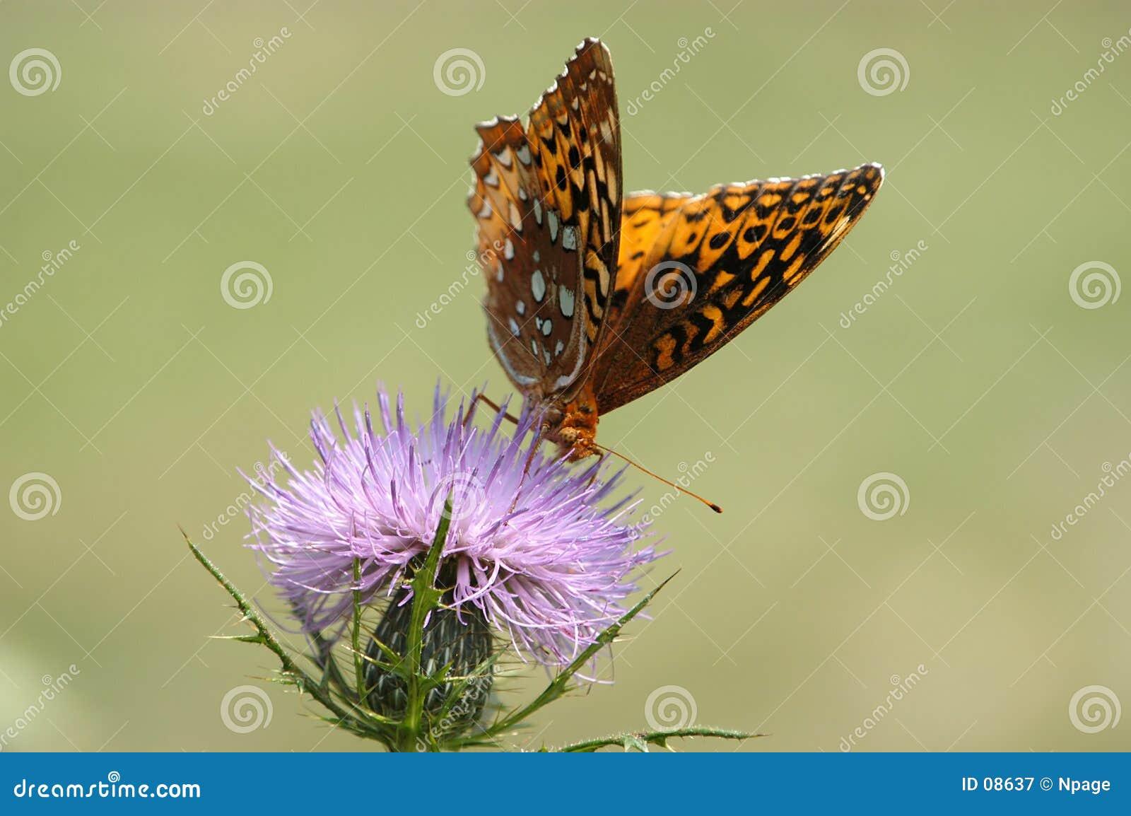 Nie 4 motyl