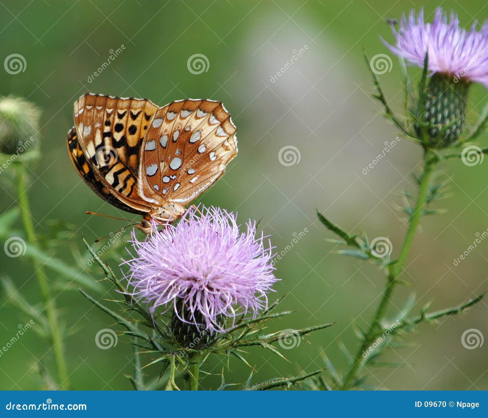 Nie 5 motyl