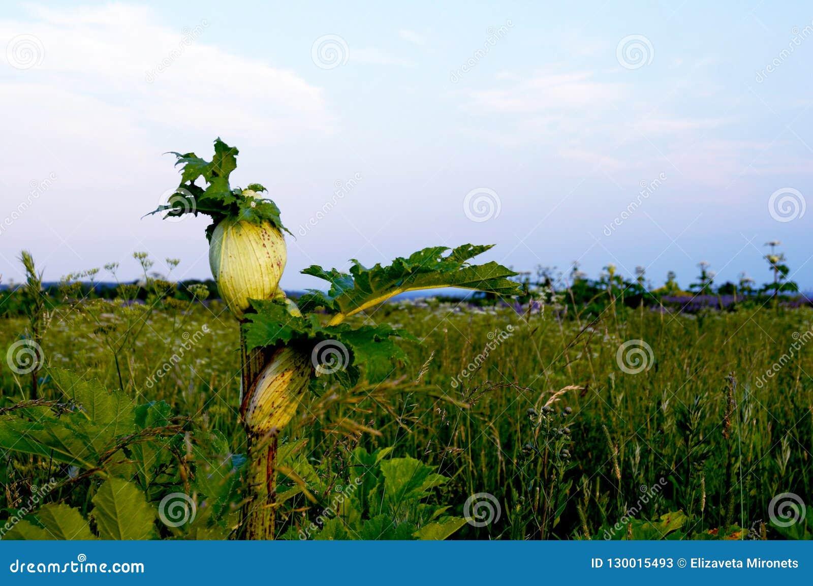 Niebezpieczna roślina - hogweed, niebezpieczny!