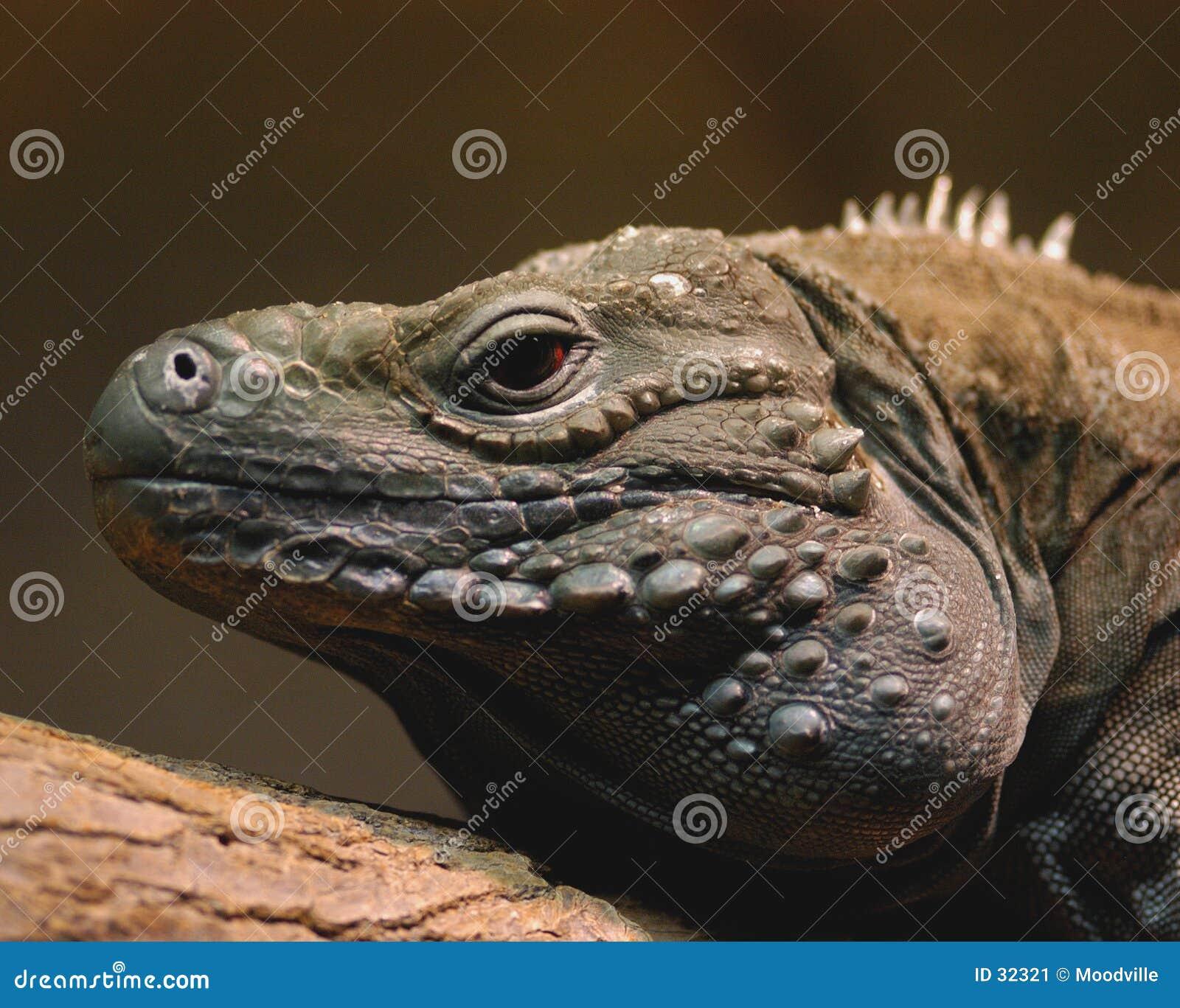 Niebieska iguana