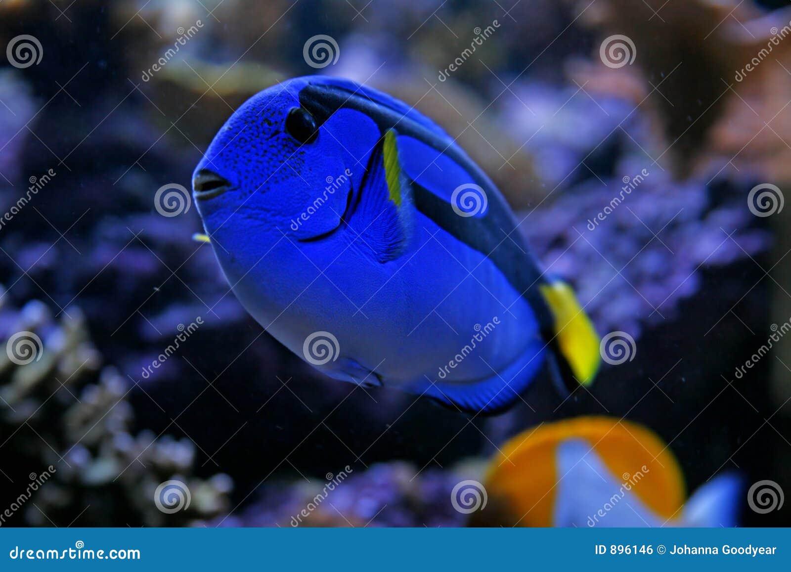 Niebieska tang