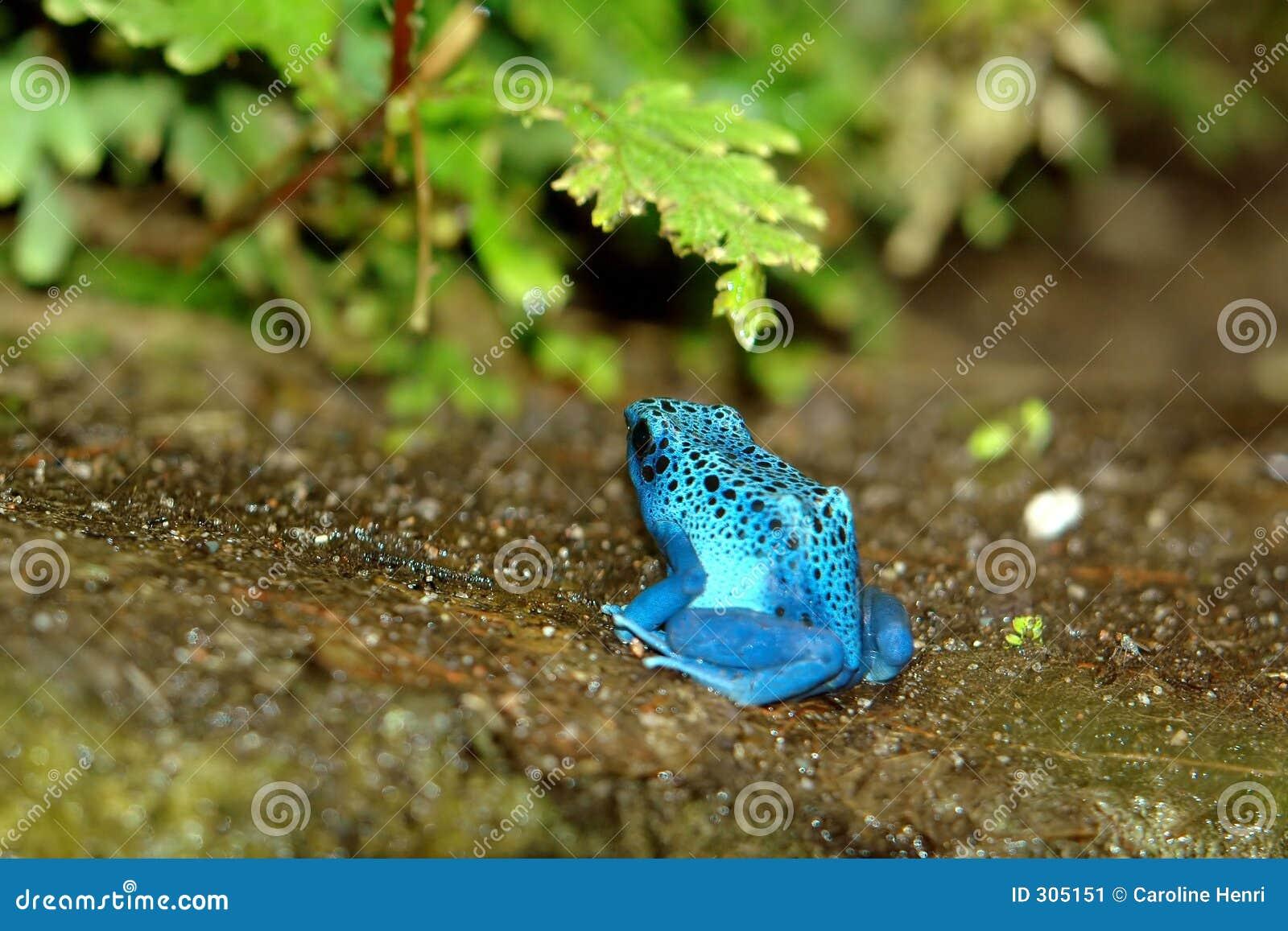 Niebieski dendrobate