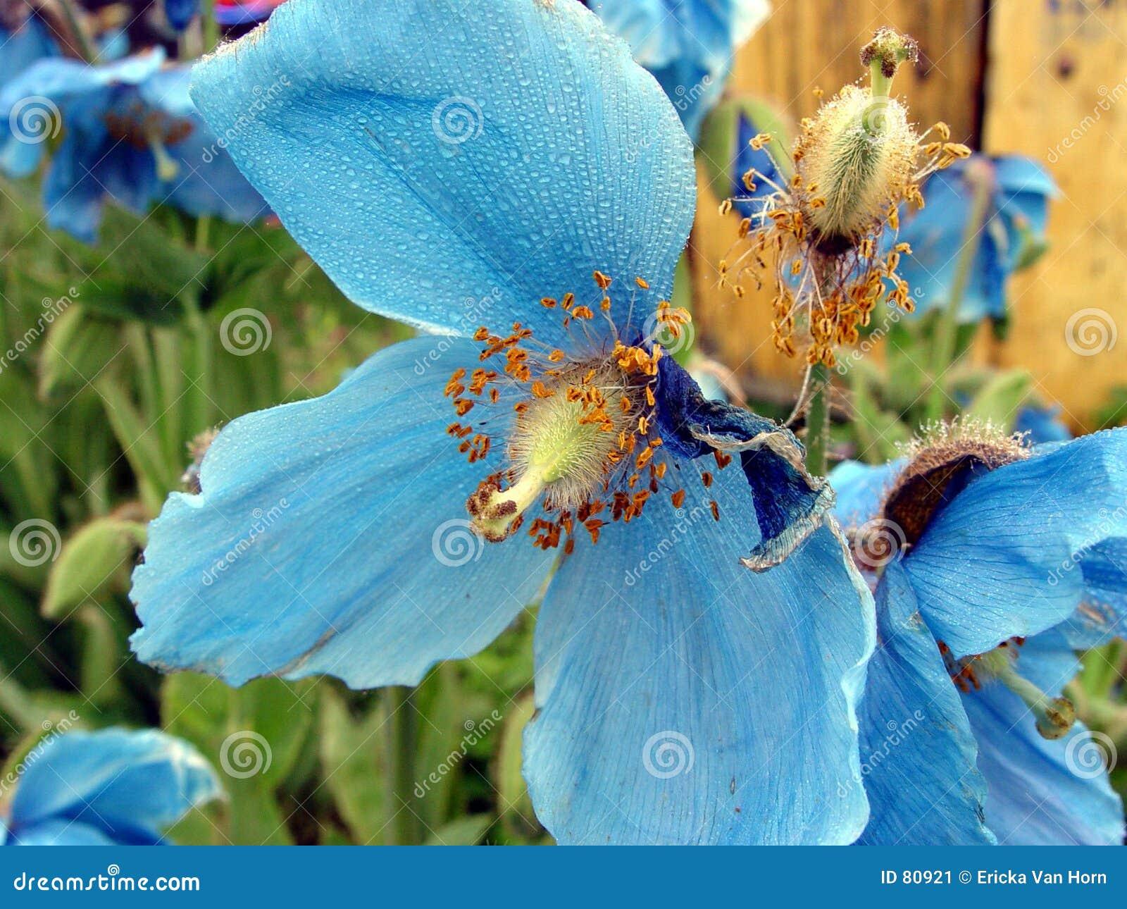 Niebieski kwiat rosa