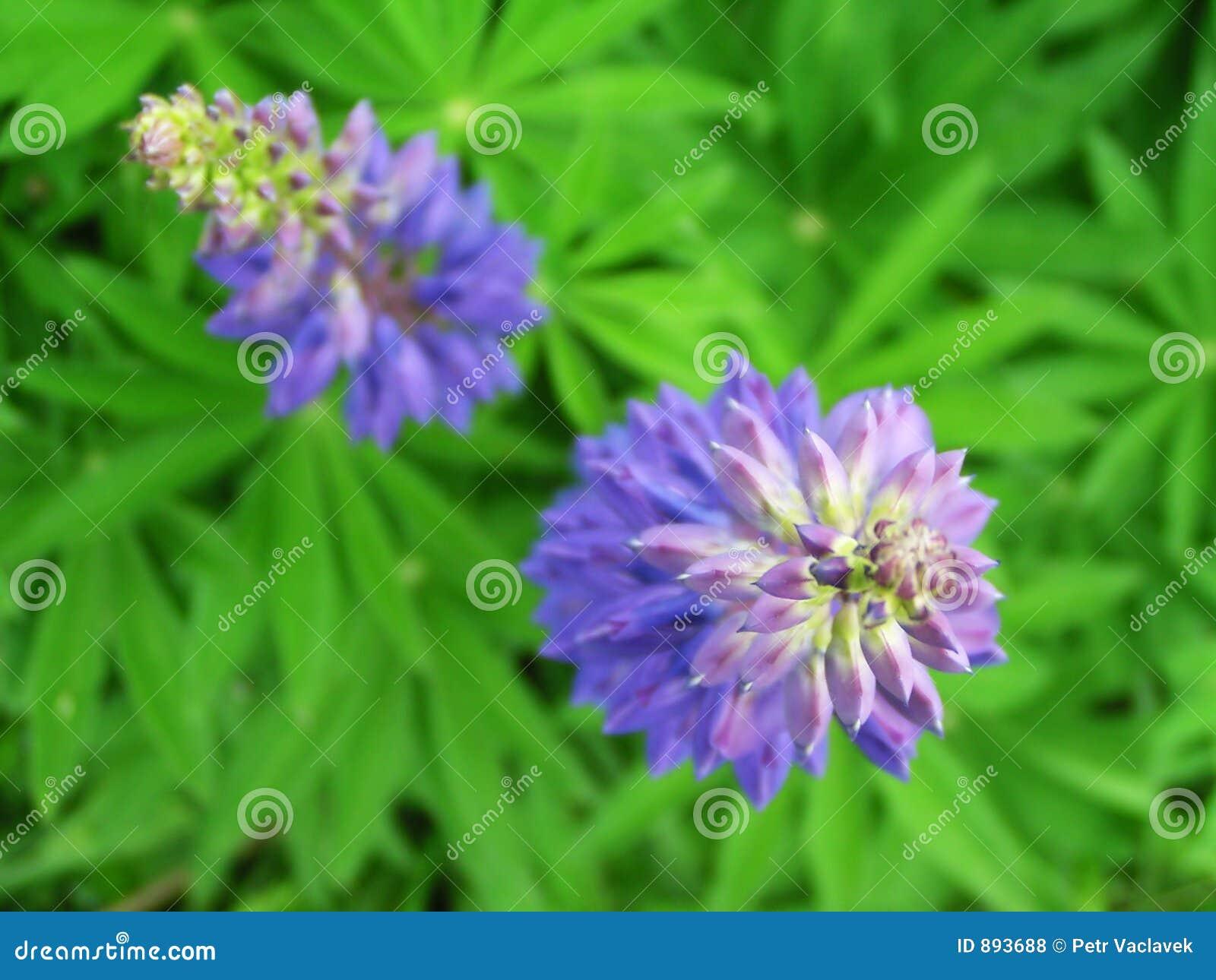 Niebieski kwitnie dwa