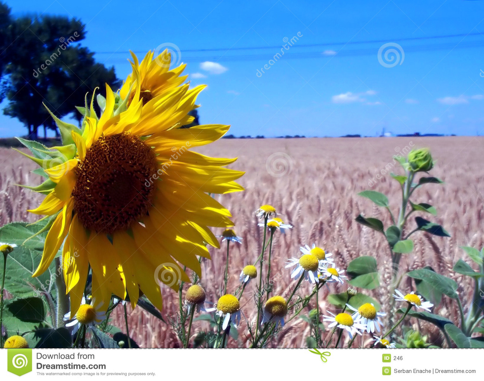 Niebieski odpowiada niebo zwyczajnej słonecznika