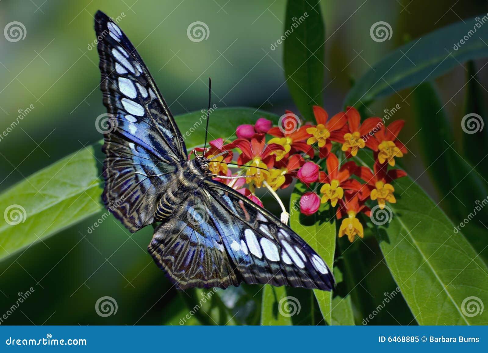 Niebieski szczypce motyla