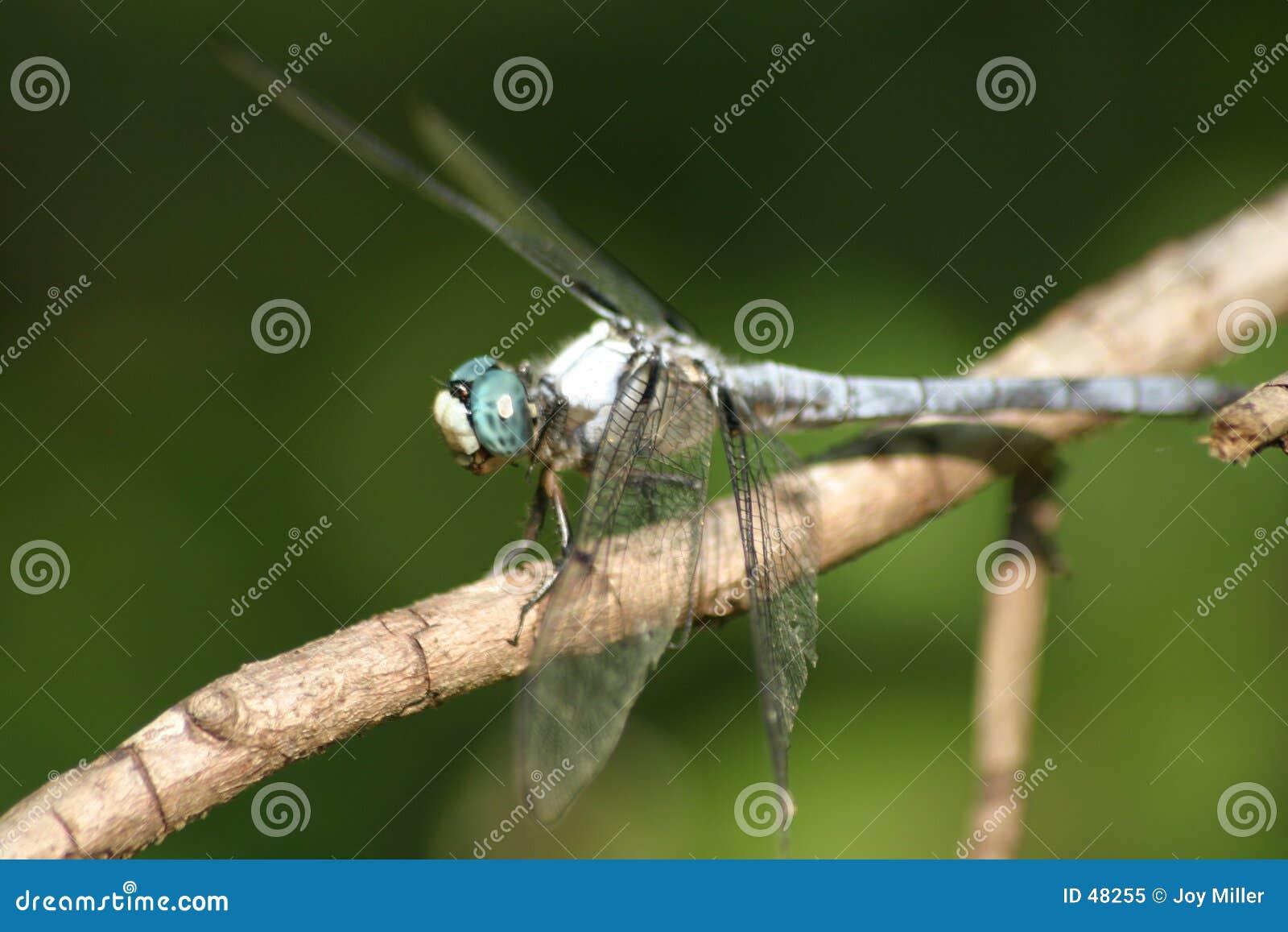 Niebieski ważka