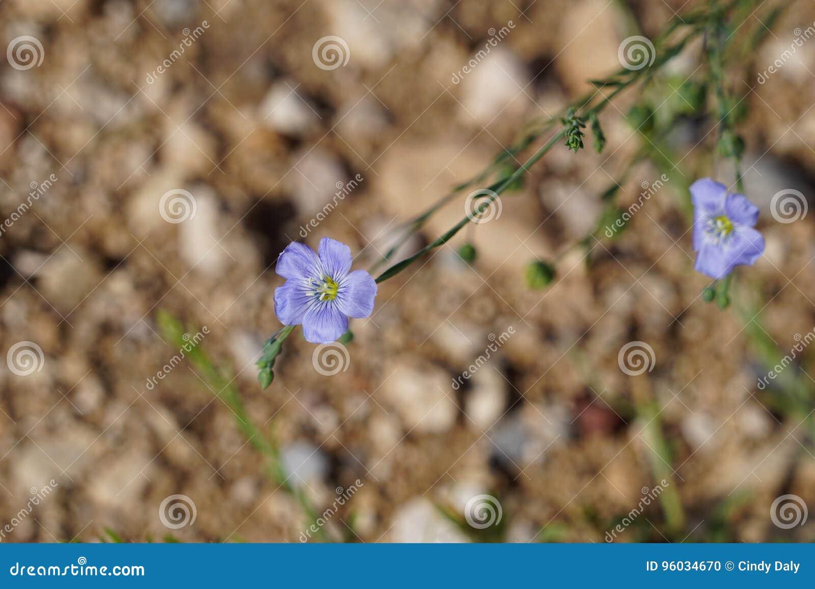 Niebieski wildflower