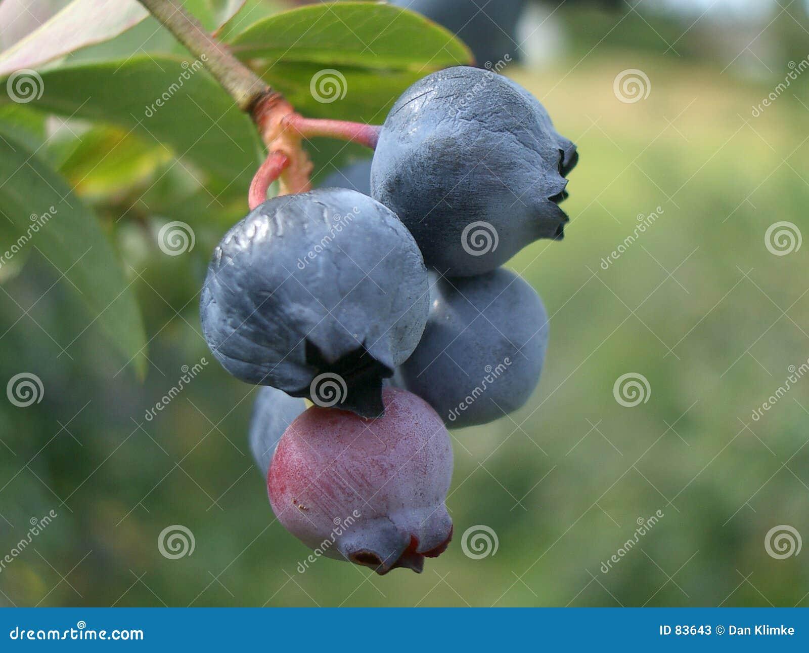 Niebieskie jagody