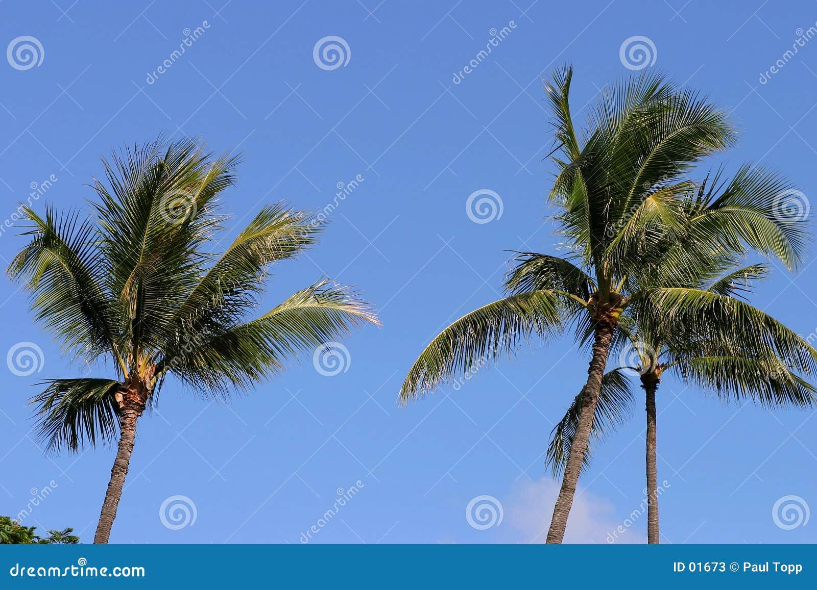 Niebieskie niebo Hawaii palmowi drzewa