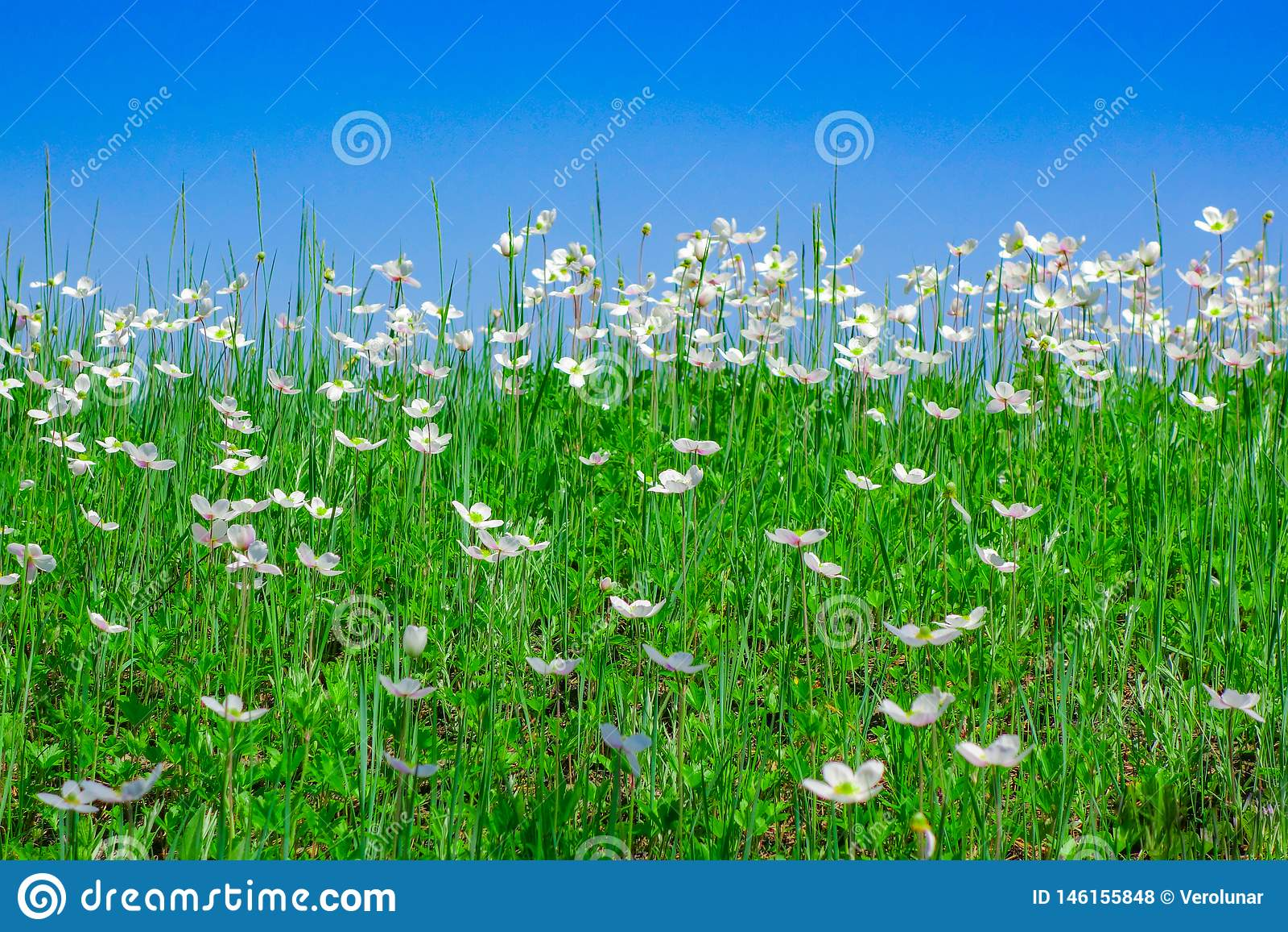 Niebieskie niebo nad polem biali kwiaty