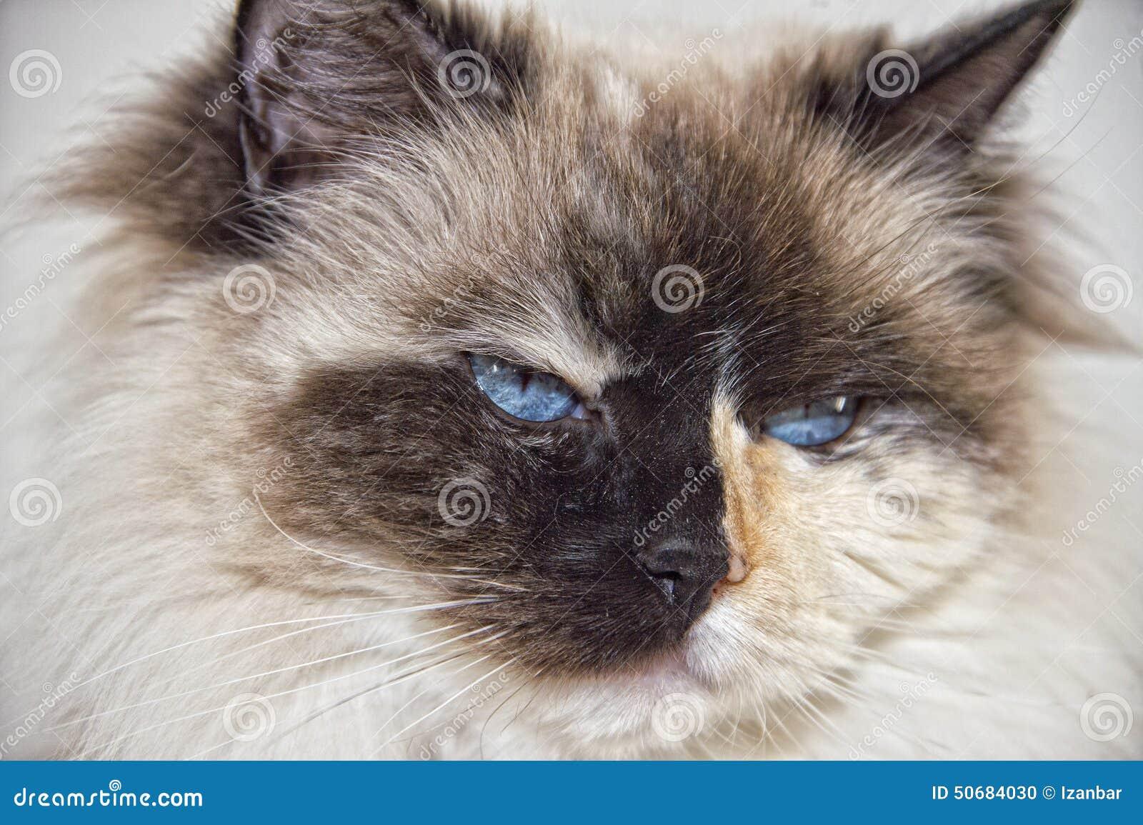 Niebieskie Oczy Biali I Czarny Ragdoll Kot Zdjęcie Stock Obraz