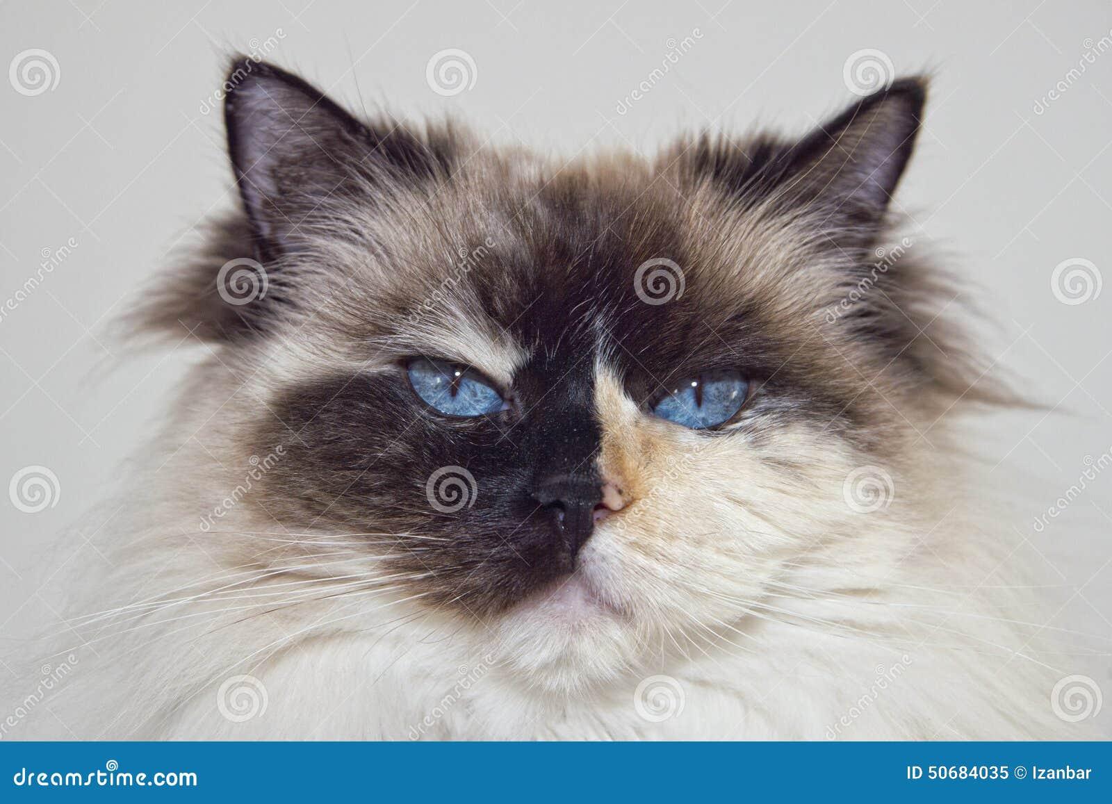 Niebieskie Oczy Biali I Czarny Ragdoll Kot Obraz Stock Obraz