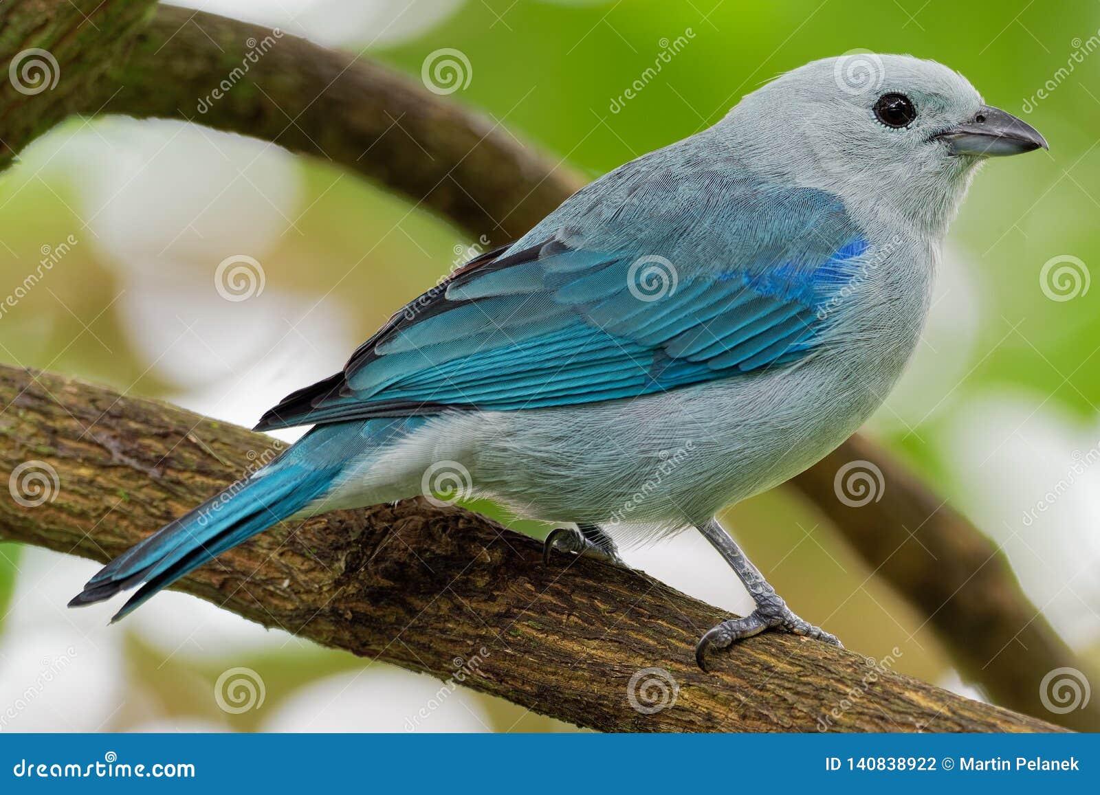 Niebieskoszary Tanager amerykański ptak śpiewający tanager rodzina, Thraupidae - Tangara episcopus średniej wielkości południe -
